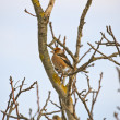 Hawfinch — Stock Photo #19879547