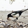 Stock Photo: Magpie