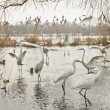 Great egrets — Stock fotografie #20321409