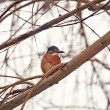 Common kingfisher — 图库照片 #20321421