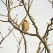 Stock Photo: Hawfinch