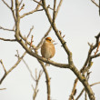 Hawfinch — Stock fotografie #21351081