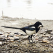Magpie — Stock Photo #22359035