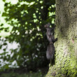 Squirrel climbing tree - Stock Photo
