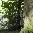 Stock Photo: Squirrel climbing tree
