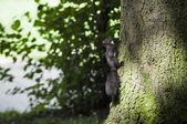 Squirrel climbing tree — Stock Photo