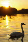 Swan at sunset — Stock Photo