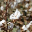 Stock Photo: Cotton closeup