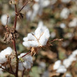 Cotton closeup - Stock Photo