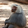 A looking baboon - Stock Photo