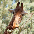 Portrait of a giraffe — Stock Photo