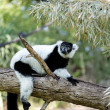 Lemur animal - Stock Photo