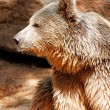 Portrait one brown bear - Stock Photo