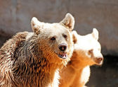 Portrait brown bear — Stock Photo