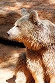 Portrait one brown bear — Stock Photo