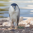 Stock Photo: Night Heron