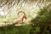 Goat in the wild day — Foto Stock