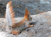 Squirrel back view — Stock Photo