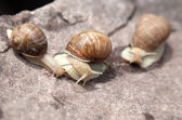 Three snail crawling — Foto Stock