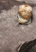 Snail basking on a rock close-up — Foto Stock
