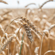 Ears of wheat on a background of field — Stock Photo