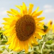 Stock Photo: Sunflower on field
