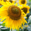 Stock fotografie: Growing blooming sunflowers