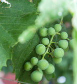 Grapes close up with leaves — Stock Photo