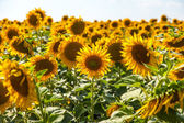 Ripe sunflower field — Stock Photo