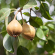 Growing pears close-up in nature  — Stock Photo