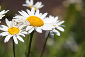 Camomiles close-up outdoors — Stock Photo