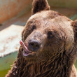 Portrait of a brown bear — Stock Photo #29783261