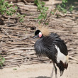 Black crowned crane — Stock Photo