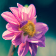 Bright purple dahlia flower close-up — Stock Photo