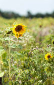 Sunflowers in a field in the nature — Foto de Stock