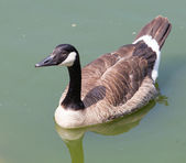 Duck floating on the lake — Stock Photo