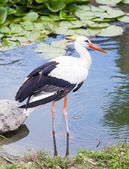 Stork standing in the ode in the lake — Stock Photo