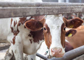 Portrait of cow on a farm — Stock Photo