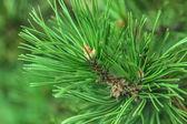 Closeup branch fir — Foto de Stock