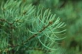 Abeto de rama macro — Foto de Stock