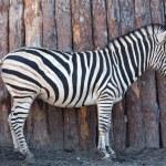 Zebra posing on nature — Stock Photo #43424573