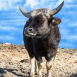 Portrait of an African bull — Stock Photo