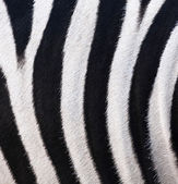 Texture of leather, fur zebra — Stock fotografie