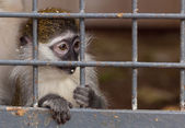 Portrait of a little monkey behind bars — Stock Photo