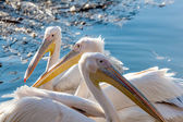 Three pelican floating in the lake close  — Stock Photo