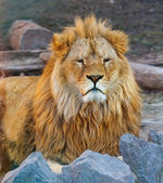 Portrait of the king of beasts lion — Stock Photo
