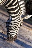Porträtt av en zebra äter nära — Stockfoto