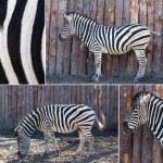 Zebra  posing in nature — Stock Photo #43761969