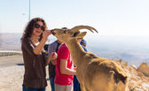 人用喂野生山羊 — 图库照片