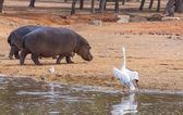 Paire d'hippopotames marche — Photo